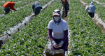 Trabajadores agrícolas ante el COVID-19: comunidades mexicanas en Estados Unidos y Canadá